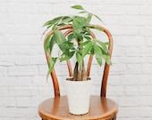 Money Tree Plant in Modern Pot