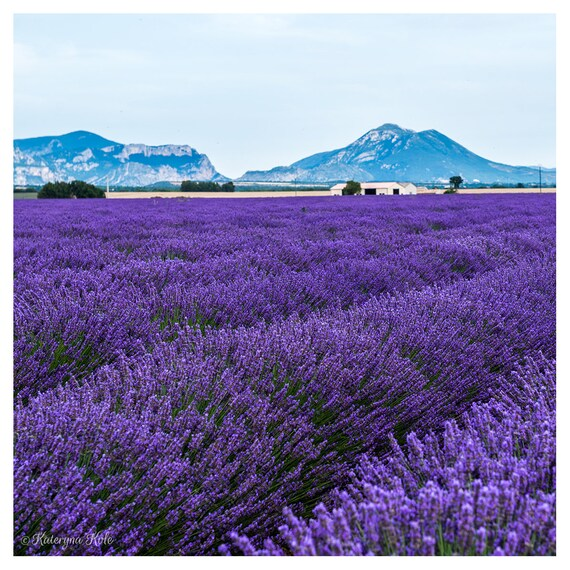 Lavender Field in Full Bloom Provence France Photo Art Print Poster 12x18 inch