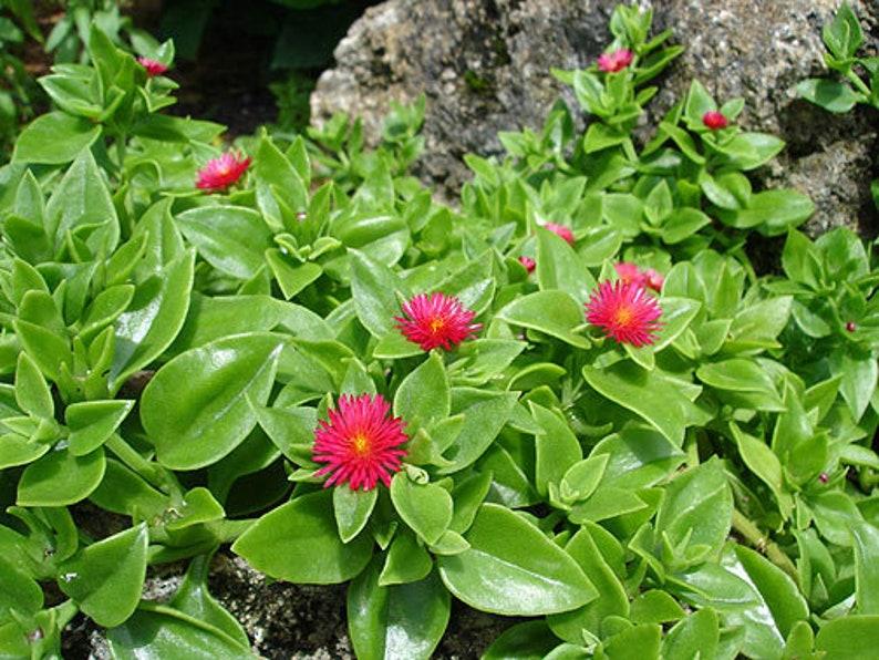 Aptenia cordifolia BABY SUN ROSE Ice Plant ground cover bare root starts