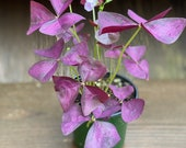 Oxalis Triangularis Purple Shamrock Perennials Easy to Grow Live Plant 4 quot Pot