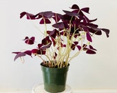 Deep Purple Oxalis Triangularis Shamrock Perennials Well rooted Live Plant 3.5 Nursery Pot