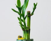 3 stalks of Lucky Bamboo arrangement with roots Live Plant. 4 to 6 6 to 8 tall . Water base plant.