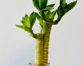 3 stem of Lotus Lucky Bamboo with roots Live Plant. 6 to 8 tall . Water base plant.