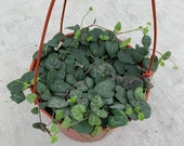 String of Hearts Ceropegia Woodii Available in 4 quot or 6 quot Pot
