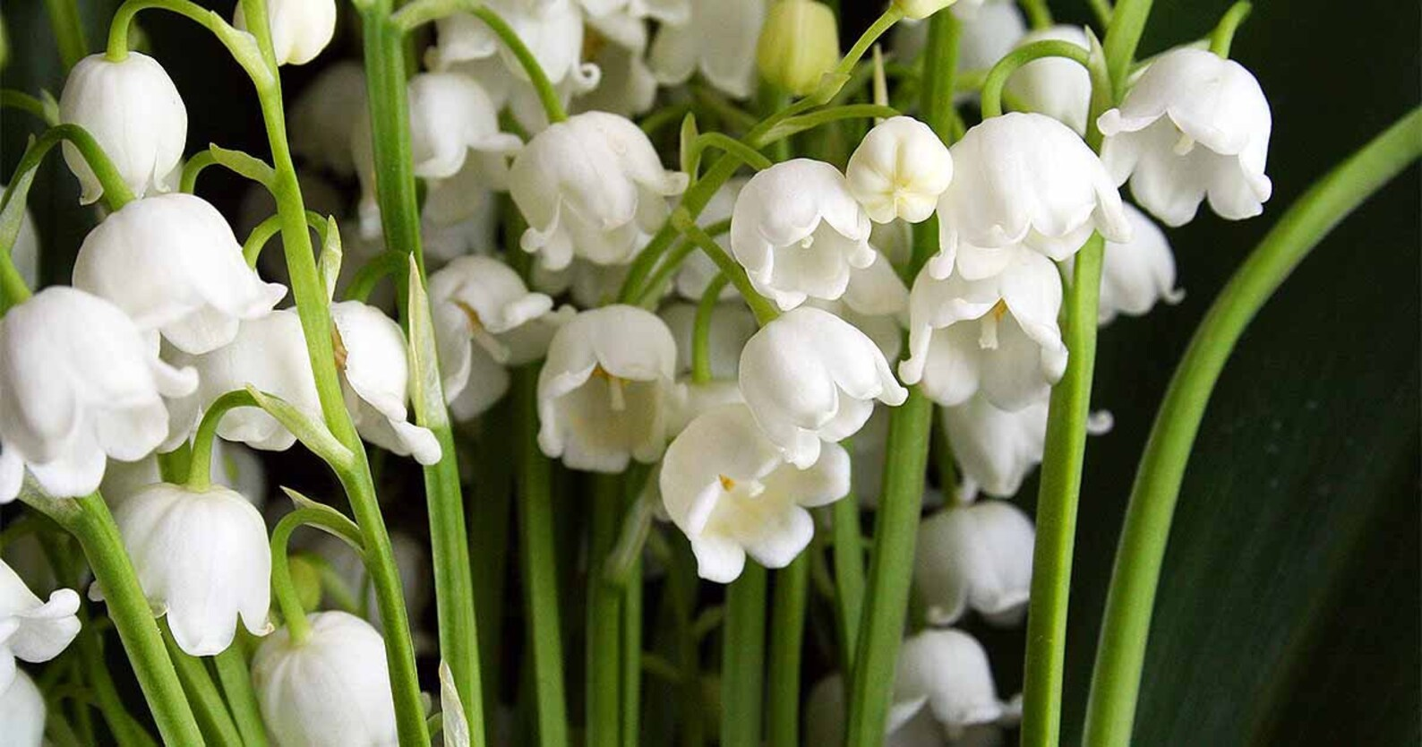 Lily of the Valley Convallaria majalis fragrant flower bulbs