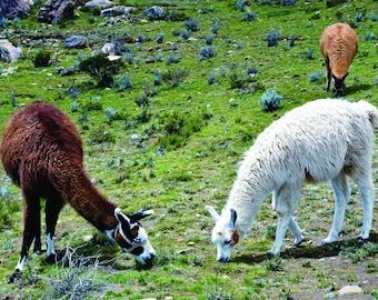 Animal Canvas CW 203 Lama Canvas Wildlife Canvas Nature Canvas Print Animal Canvas Print Lama on Island of the Sun Bolivia Canvas Print