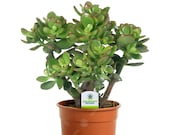 Crassula Ovata - 1 Plant - House Office Live Indoor Pot Money Penny Tree