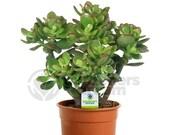 Crassula Ovata - 1 Plant - House Office Live Indoor Pot Money Penny Tree