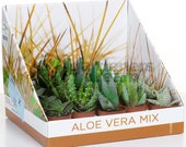 Aloe Vera Mix - House Office Live Indoor Pot Plant - Ideal Gift