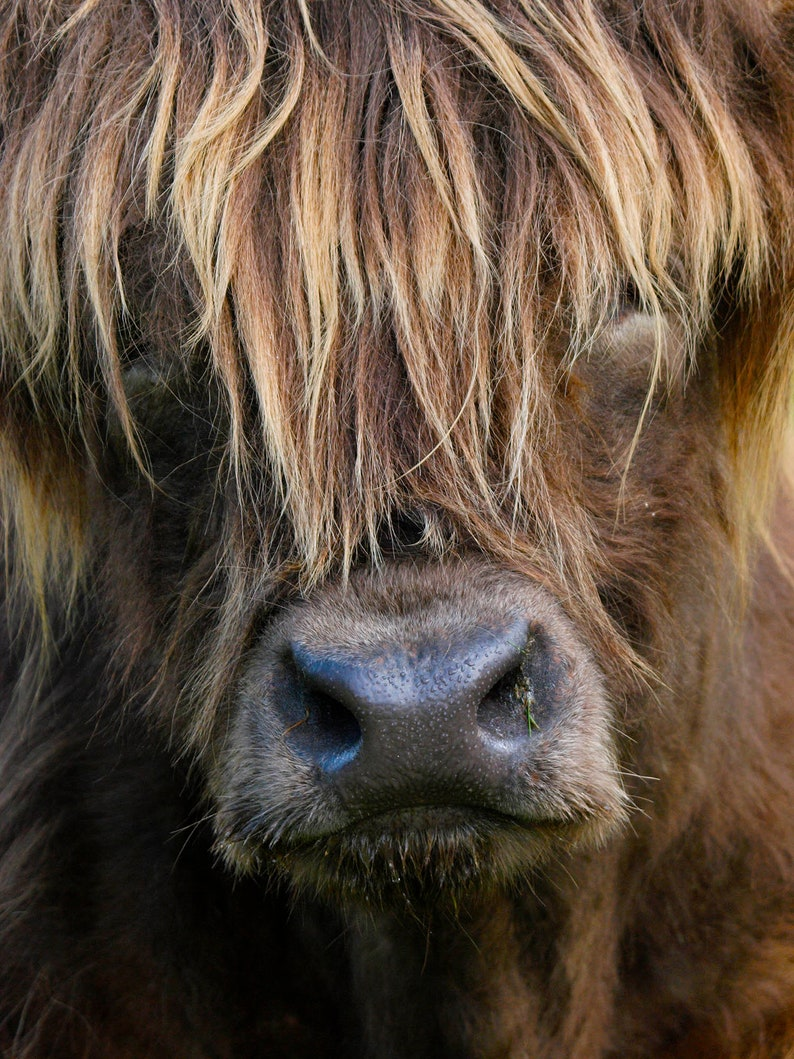 Photo print picture of a highland cow. 12 x 8 inch print to image 0