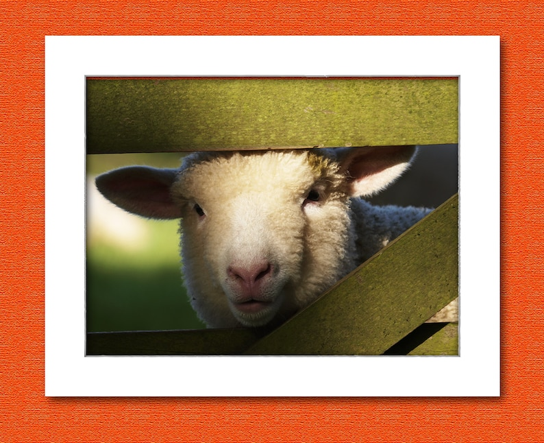 Picture of a lamb looking through a farm gate. image 0