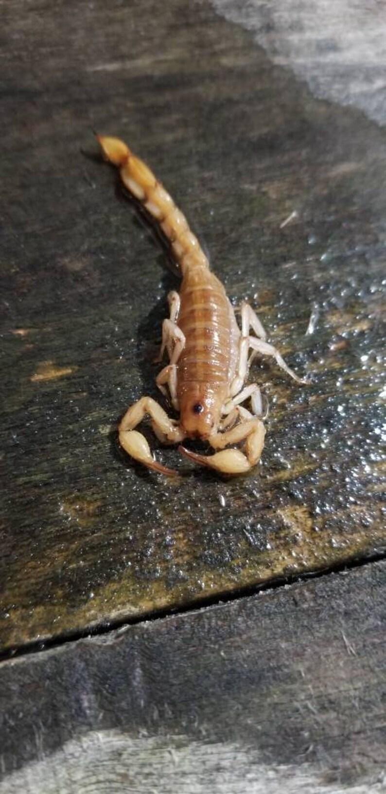 Wet specimen scorpion bug lizard snake taxidermy mount formalin fixed oddities Obscure