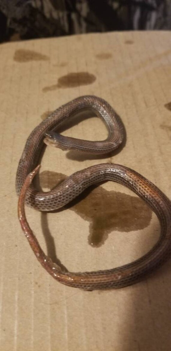 Wet specimen rosy boa snake taxidermy antique fixed in formalin oddities obscure