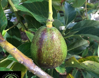 Hass Avocado Live Tree   Non GMO, naturally grown seedling   Free shipping