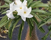 Pachypodium Geayi Madagascar Palm