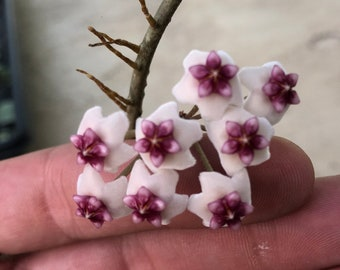"""Hoya Obovata / disc shaped leaves / live plant / rooted / 4"""" pots/ multiple leaves"""
