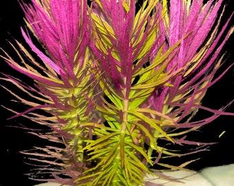 BUY 2 get 1 free LIMNOPHILA AROMATICA hippuridoides -Freshwater Aquatic Live Plants super price!!!!!! Free Shipping