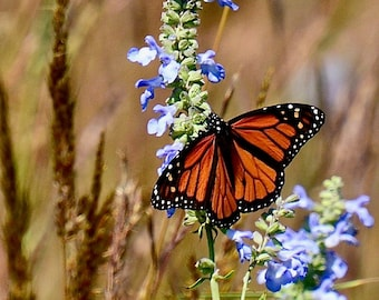 Butterfly - Monarch on Blue Sage - Photo Print - Wall Art