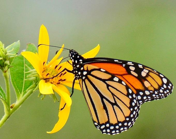 Butterfly Print - Monarch on Jerusalem Artichoke