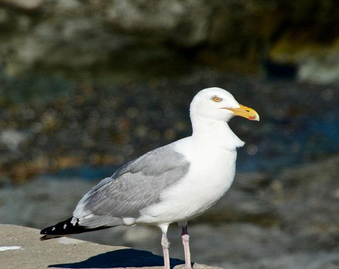 Seagull Photo Print - Gull Striking a Pose