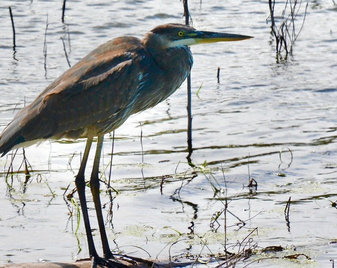 Great Blue Heron Print - Blue Heron on Log Photo
