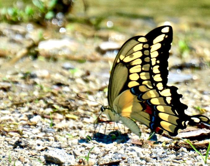 Butterfly Print - Black Swallowtail Profile