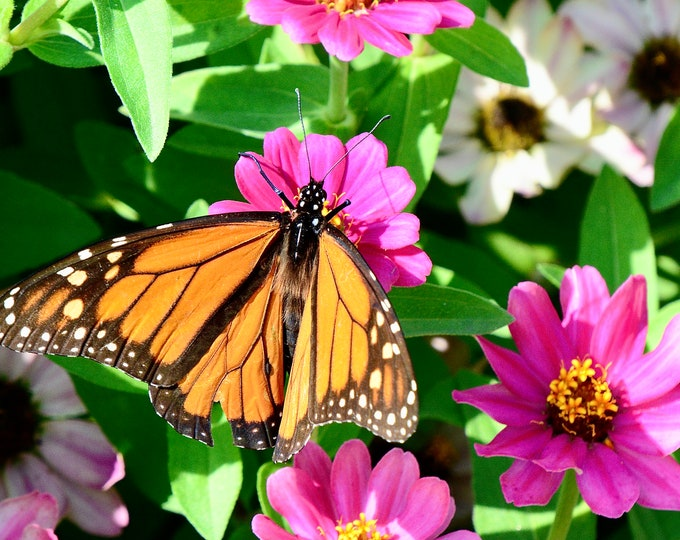 Butterfly Print - Monarch on Common Zinnia - Color Photo Print