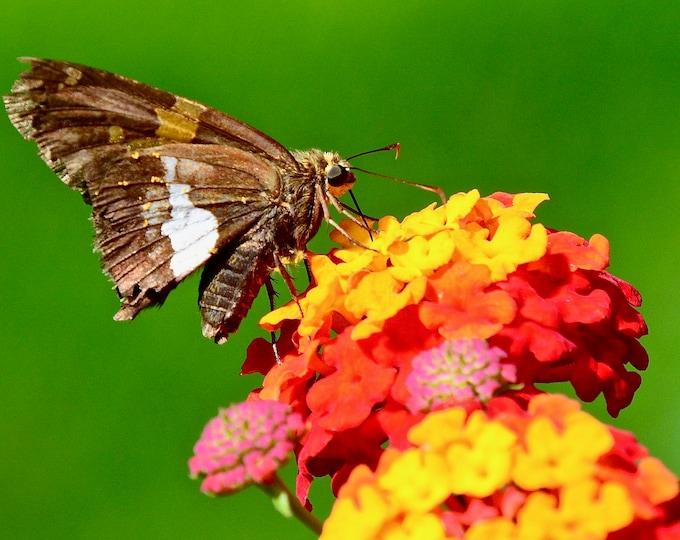 Butterfly Print - Silver Spotted Skipper on Lantana - Photo Print