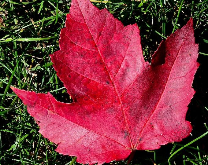 Autumn Maple Leaf Print - Fall Foliage - Maple Leaf Print