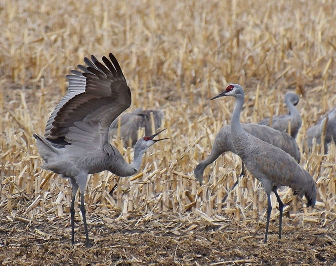 Sandhill Cranes Print - Dancing in the Field