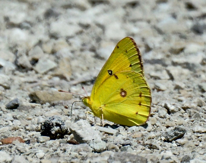 Butterfly - Solitary Clouded Yellow - Photo Print - Wall Art