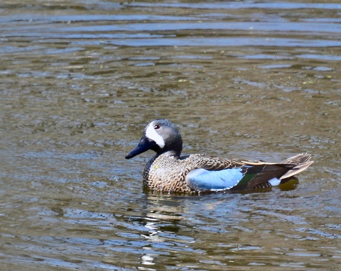 Blue-winged Teal Print - Photo Print - Bird Photography