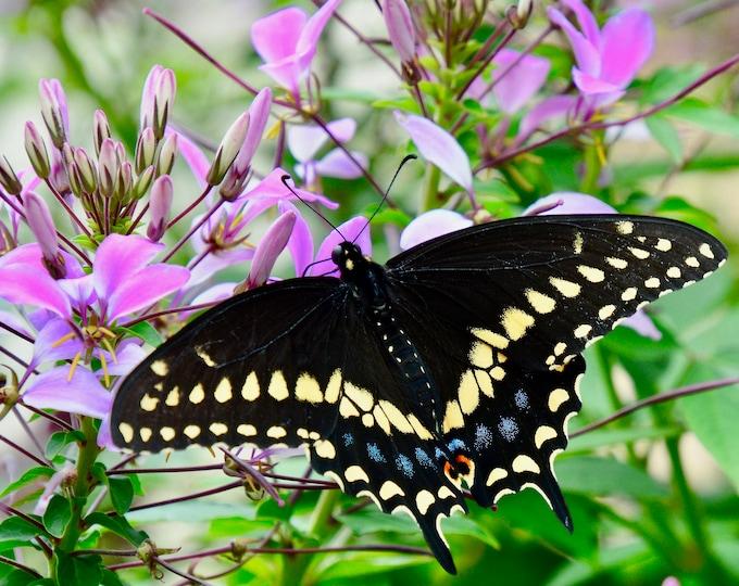Butterfly Print - Black Swallowtail on Wildflower