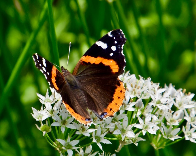 Butterfly - Red Admiral Butterfly on White Milkweed - Photo Print - Wall Art