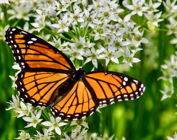 Butterfly Print - Monarch on White Milkweed - Color Photo Print