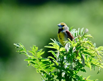 Dickcissel Photo Print - Midwest Bird Photography