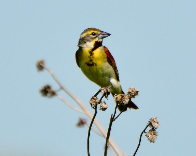 Dickcissel Print - Bird Photo Print