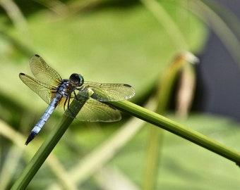Dragonfly Photo Print - Fine Wall Art Photo