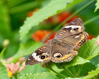 Butterfly - Common Buckeye Photo Print - Nature Print -  Wall Art