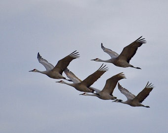 Sandhill Cranes in Flight Print - Blank Photo Note Card