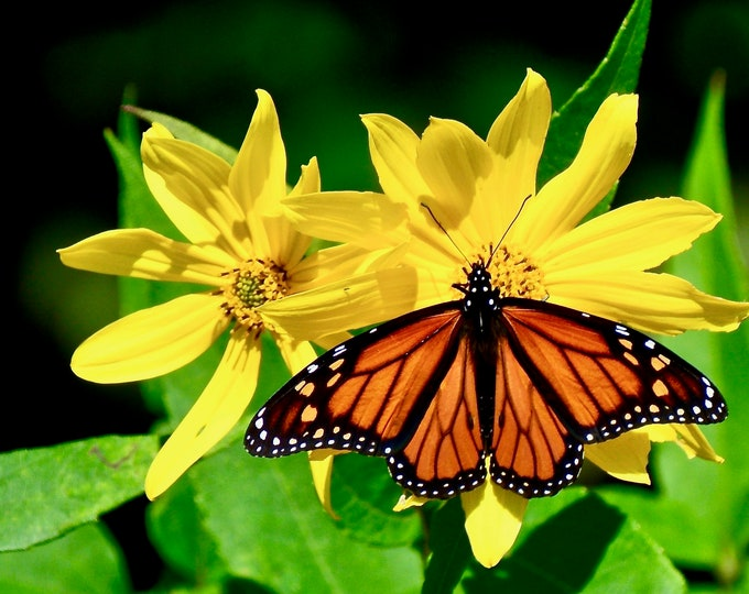 Monarch Butterfly on Woodland Sunflower Photo Print - Nature Print - Wall Art