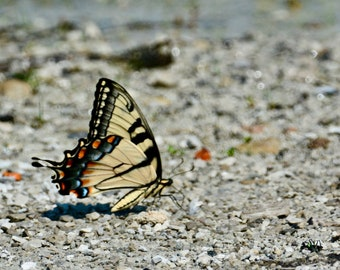 Butterfly - Swallowtail Profile Photo Print - Nature Print - Wall Art