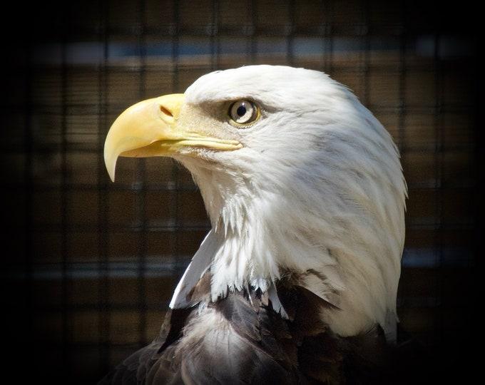 American Bald Eagle Profile Print