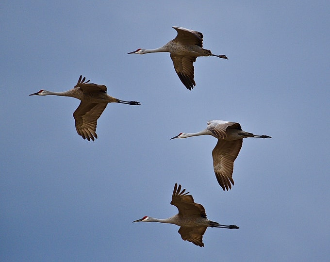 Sandhill Cranes in Flight Print / Blank Photo Note Card