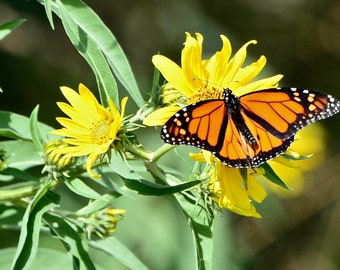 Monarch Butterfly Print - Monarch Butterfly on Yellow Flower