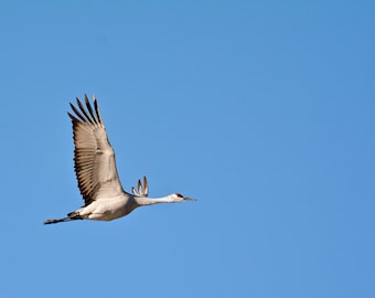 Sandhill Crane Photo Print - Solo Sandhill Crane in Flight - Nature & Wildlife Photography
