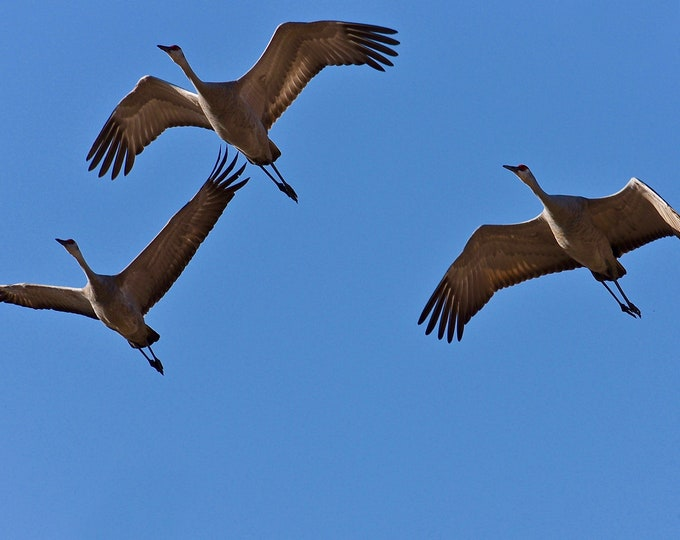 Sandhill Cranes in Flight Closeup Print - Blank Photo Note Card
