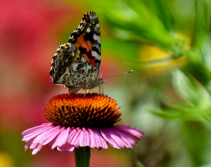 Butterfly - Painted Lady on Purple Coneflower Photo Print - Nature Print - Wall Art