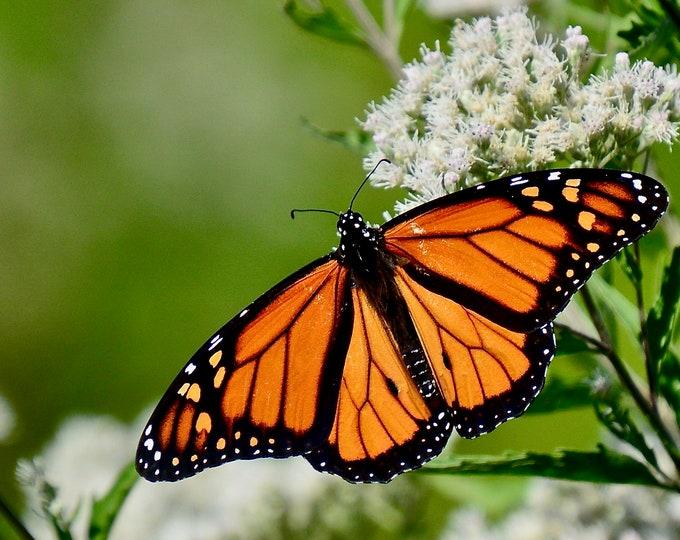 Butterfly Print - Monarch on Milkweed - Photo Print