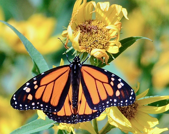 Butterfly Print - Monarch on Expiring Flower - Color Photo Print
